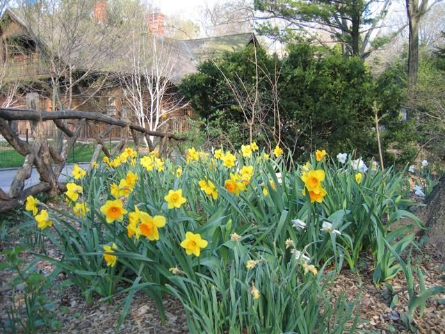 Daffodils near Shakespeare's Garden
