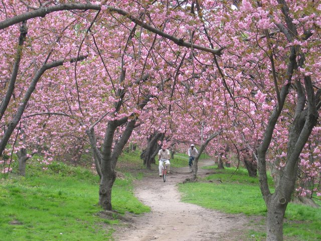 Biking in the Blossoms