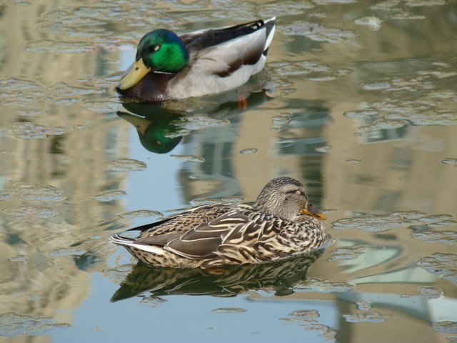 Ducks in Sailboat Lake