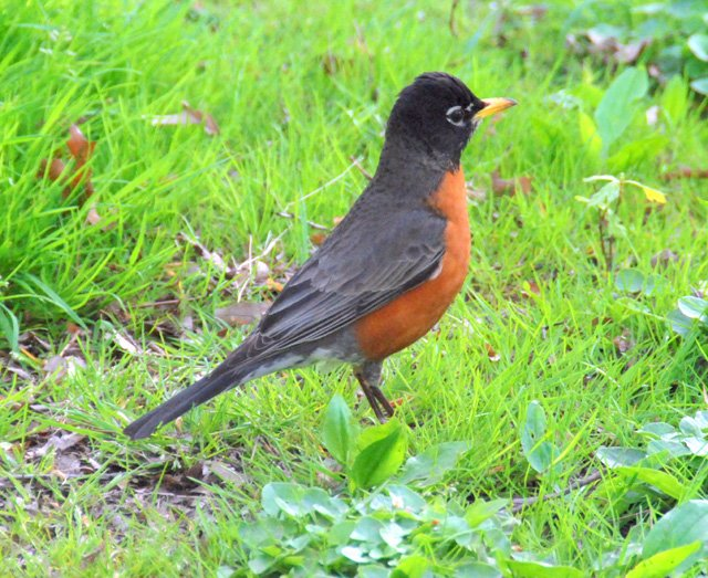 Photo Of A Robin Taken In Central Park Near 98th Street . Photo taken On Friday April 25, 2008.