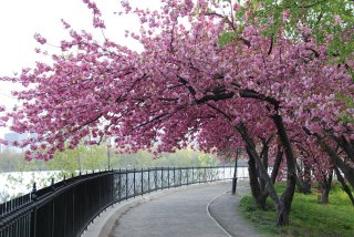 Cherry Blossom Trees In Bloom
