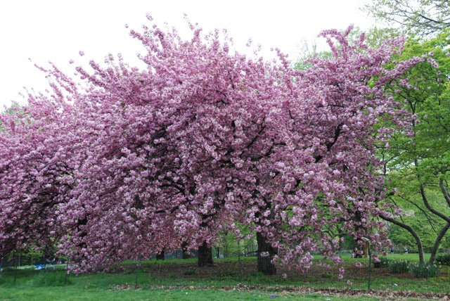 Cherry Blossom Tree In Bloom