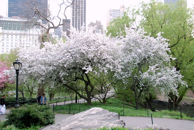 Tree's In Bloom Near 59th Street