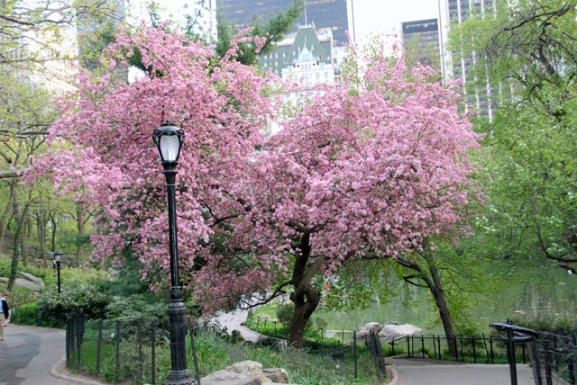 Cherry Blossom Tree In Bloom Near 59th Street