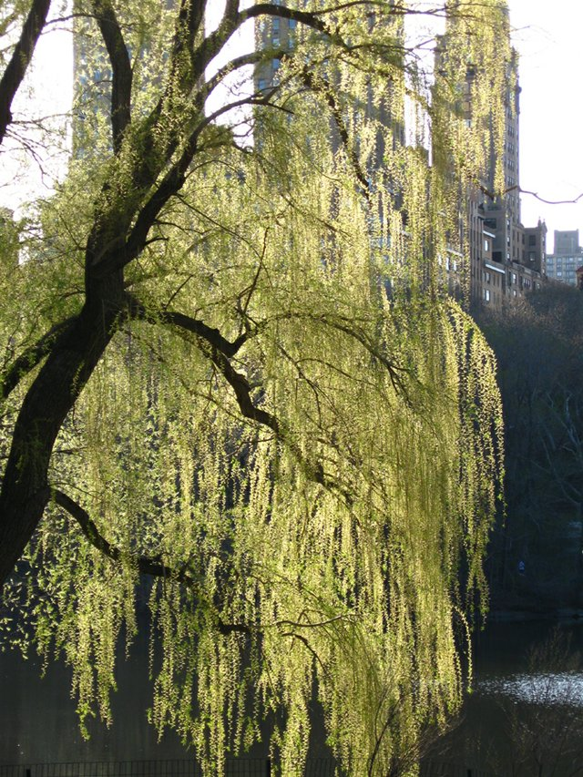 Shining Willow