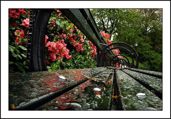 Rainy day with azaleas