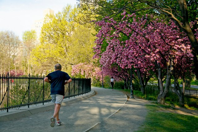 Reservoir runner at cherry blossom time