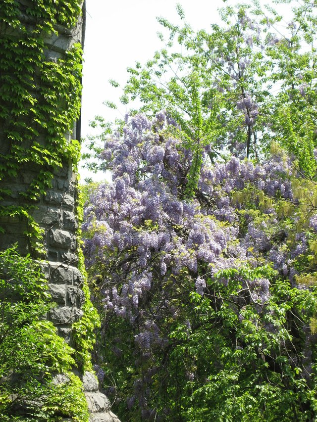 Wisteria in the Park