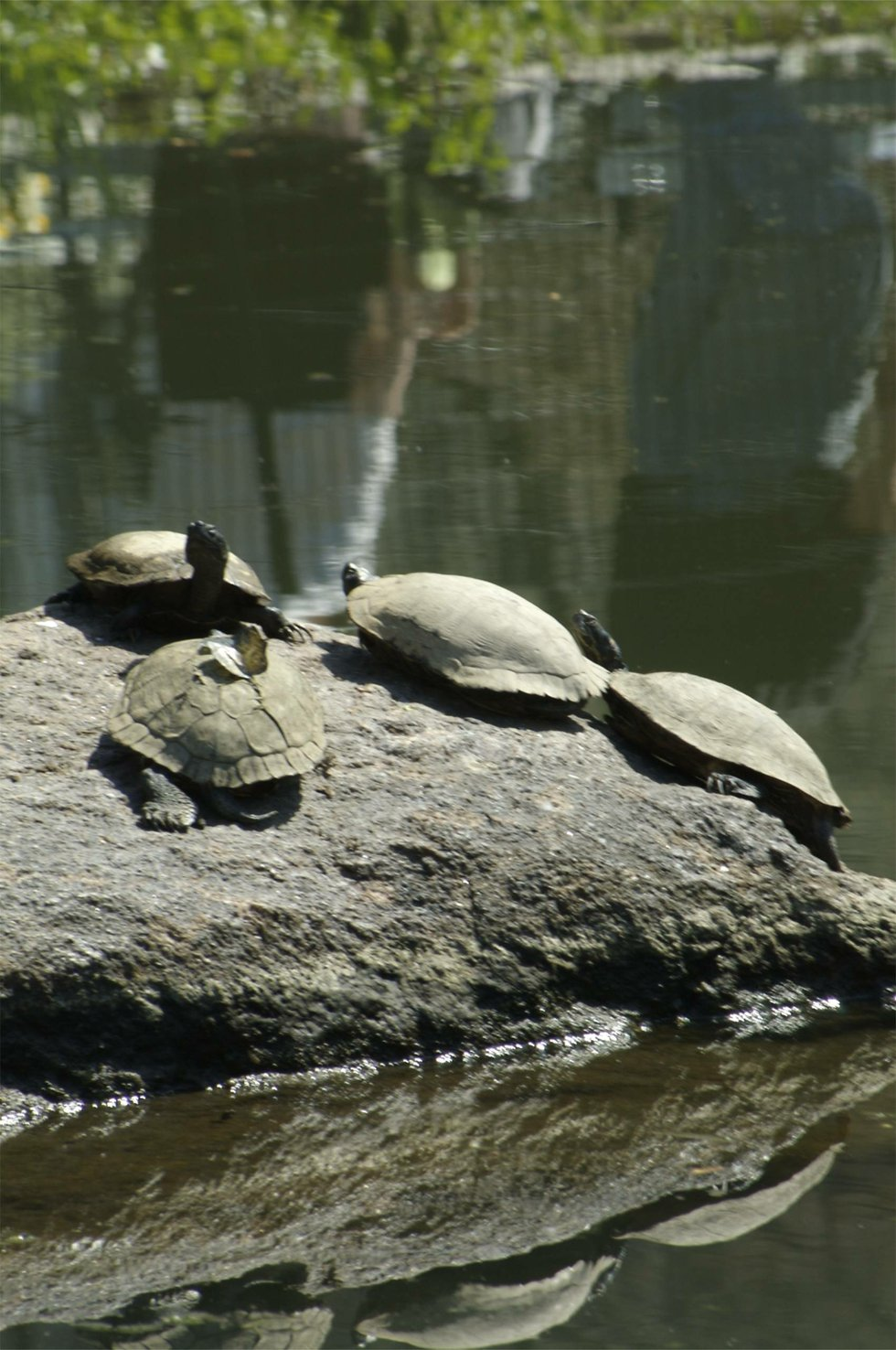 Turtles with Butterfly in the sun