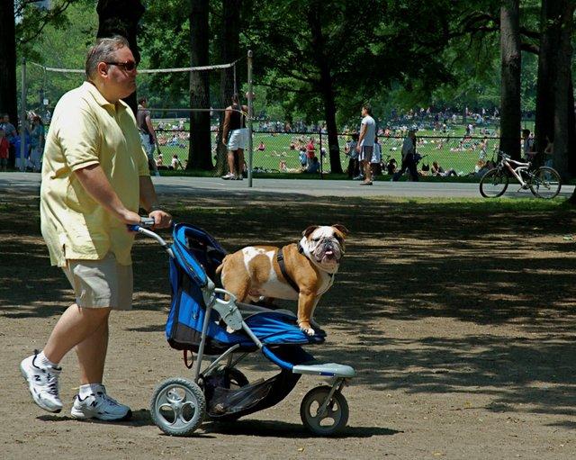 Strollin' Bulldog