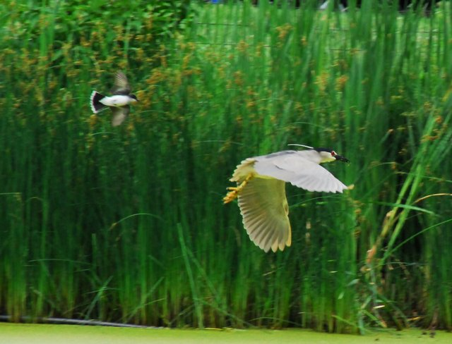 Kingbird v. Heron