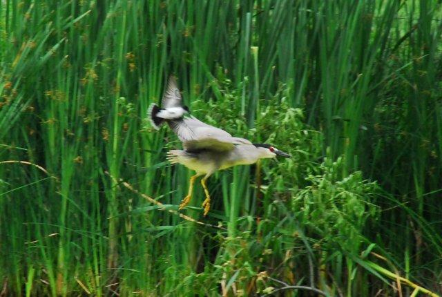 Kingbird v. Heron 2