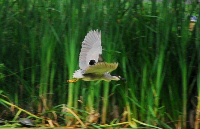 Kingbird v. Heron 3