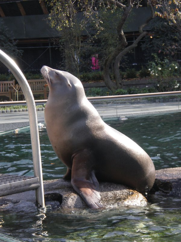 Sea Lion at Central Park Zoo !