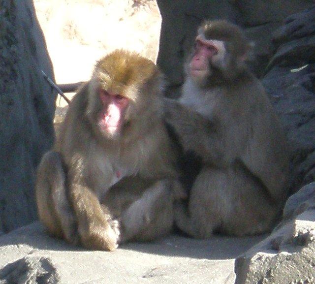 Snow Monkeys!
