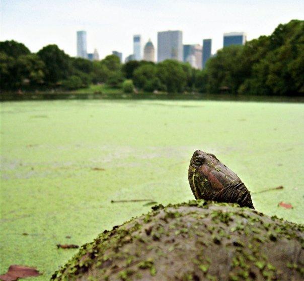 The Urban Turtle