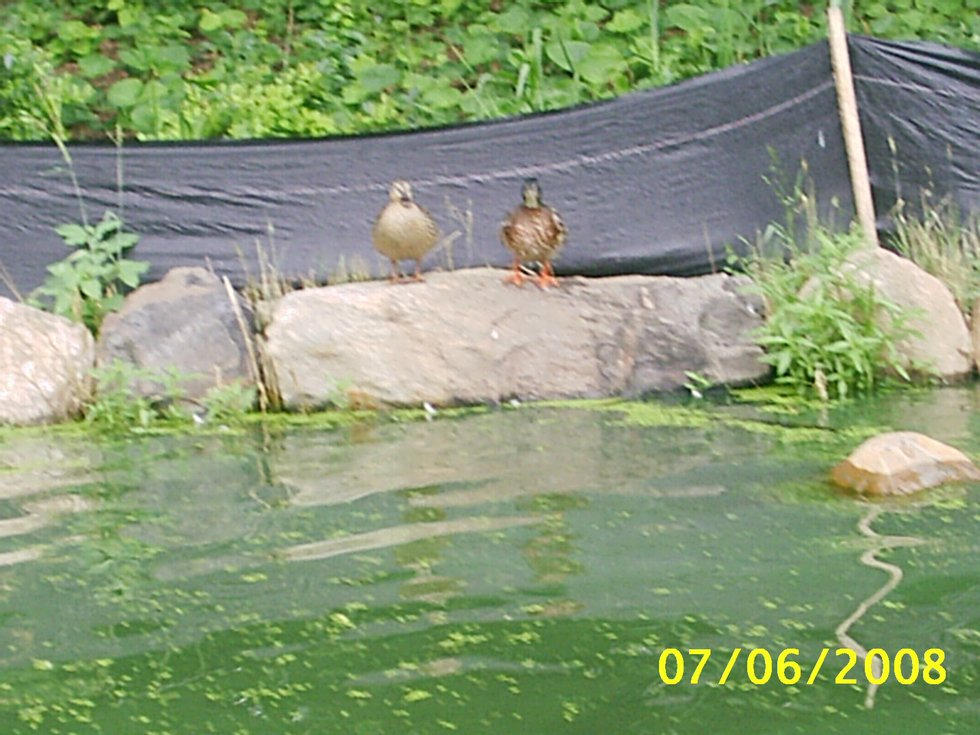 little duckys looking at us in the lake