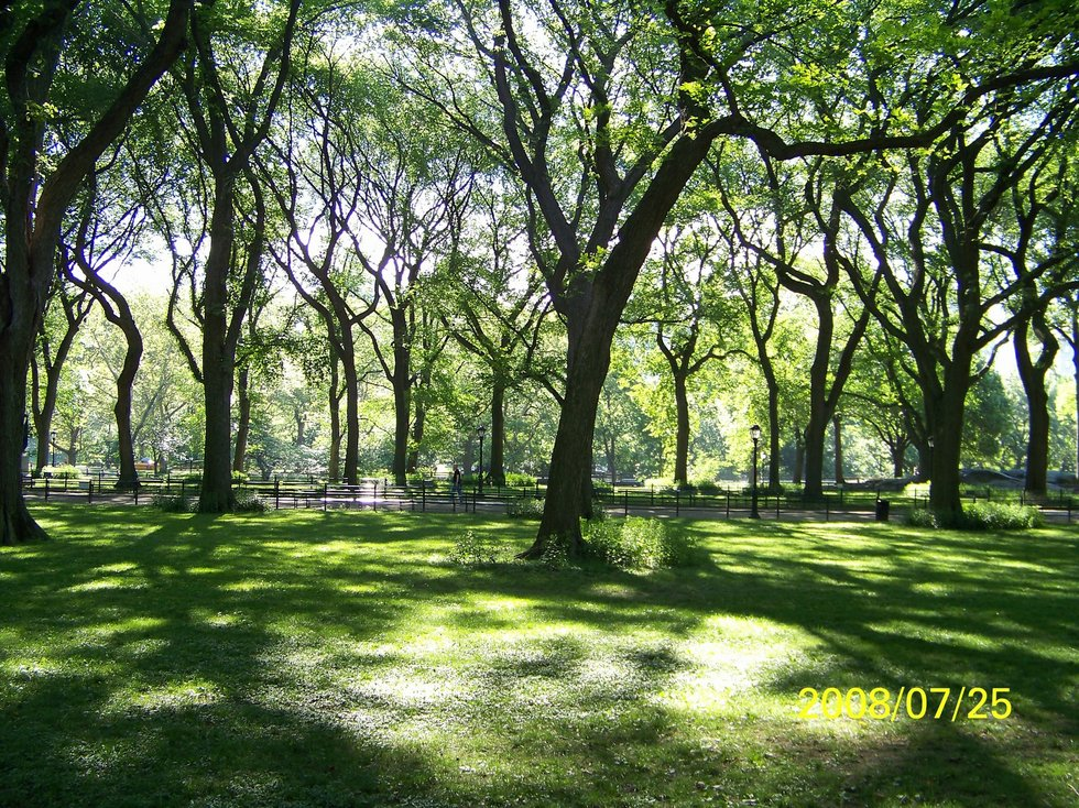 American Elms in Central Park