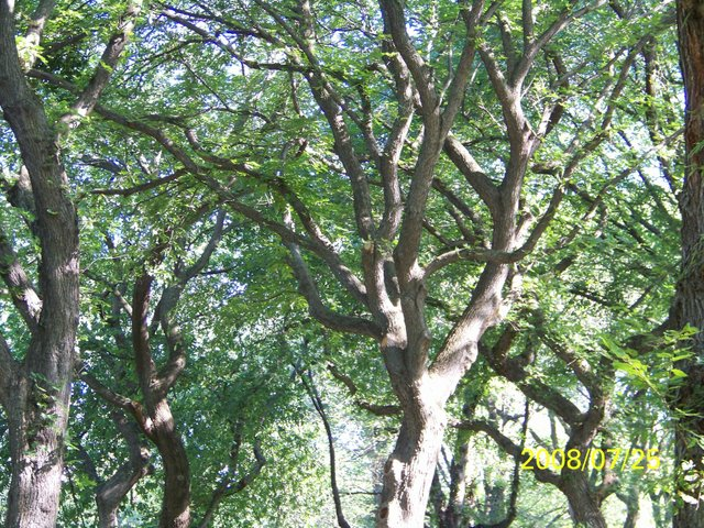 American Elm Tree Structure