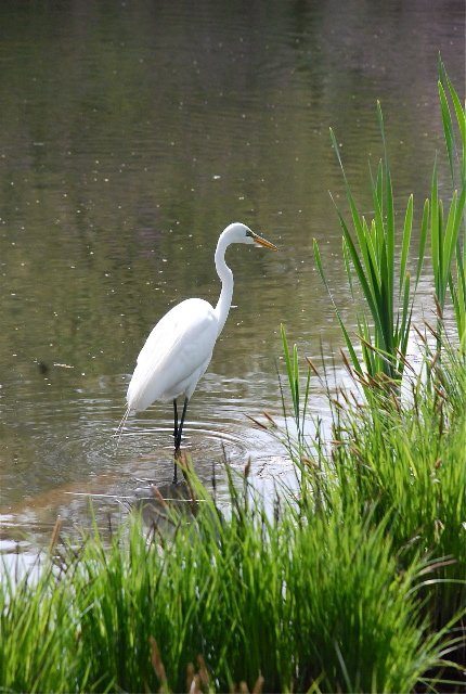 Egret turtle pond 3