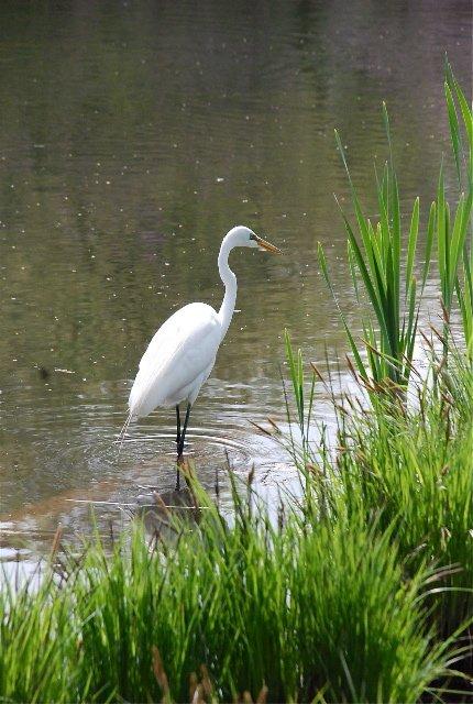 Egret turtle pond 3