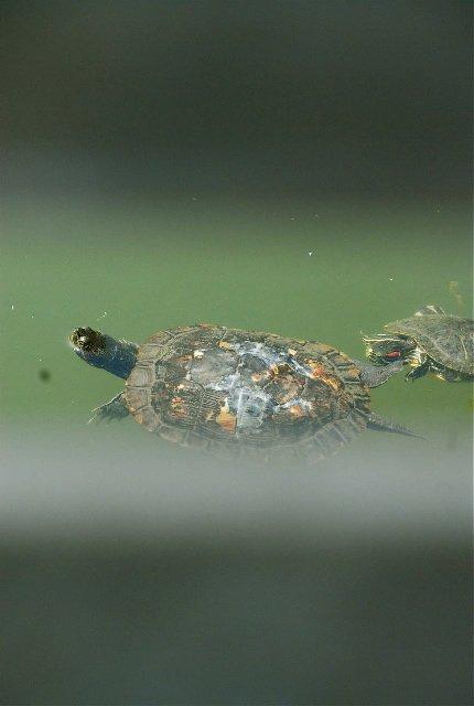 turtles 4-25-08