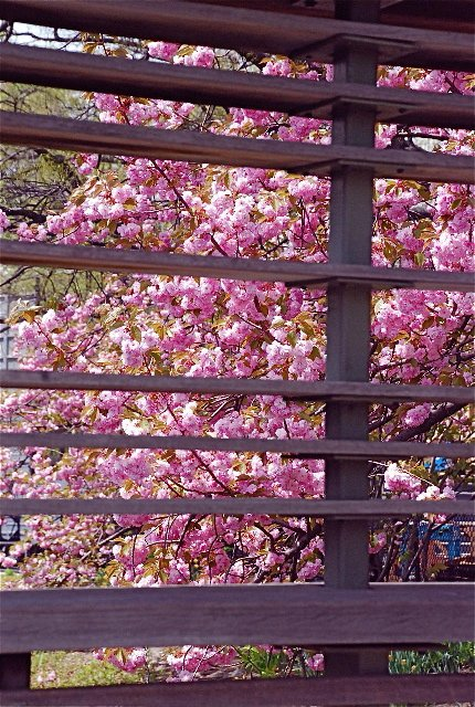 Cherry Blossoms behind the dock