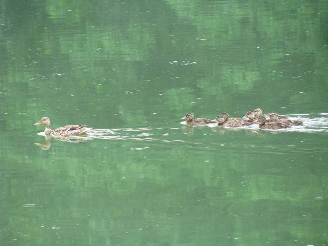 DUCKS IN GREEN