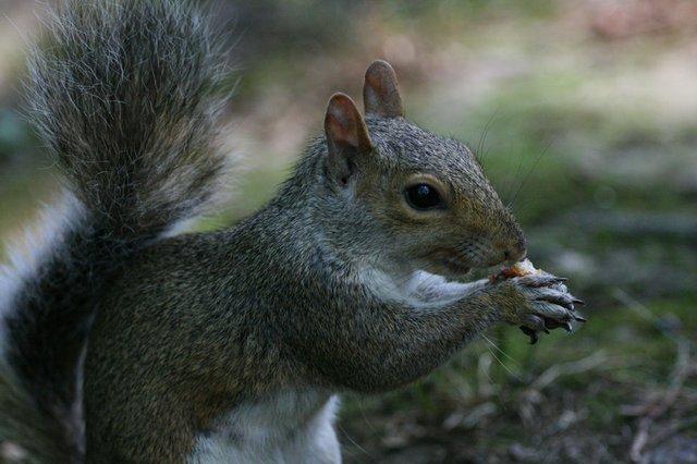 Squirrel II