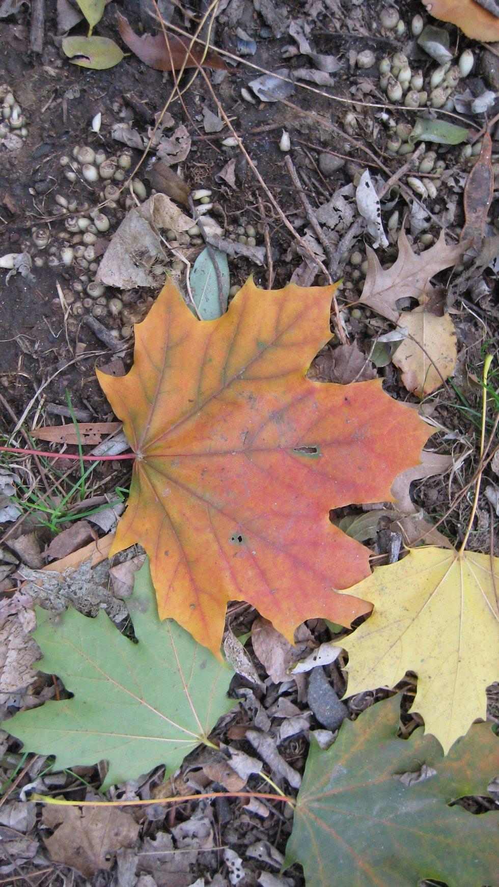 Fall Leaf 2