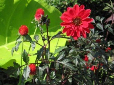 Strawberry Fayre and Dahlia