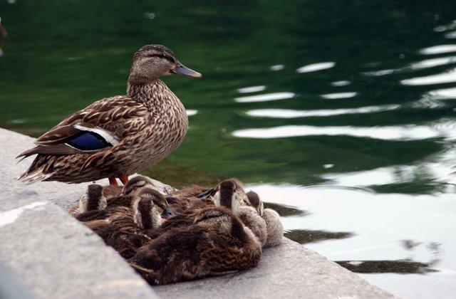 Mama and Goslings