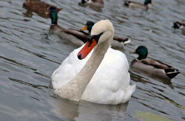 Swan by Bethesda Fountain