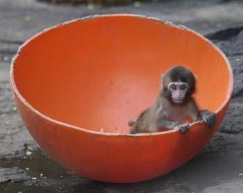 Saucer Monkey
