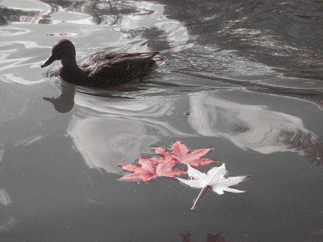 autumn is just ducky
