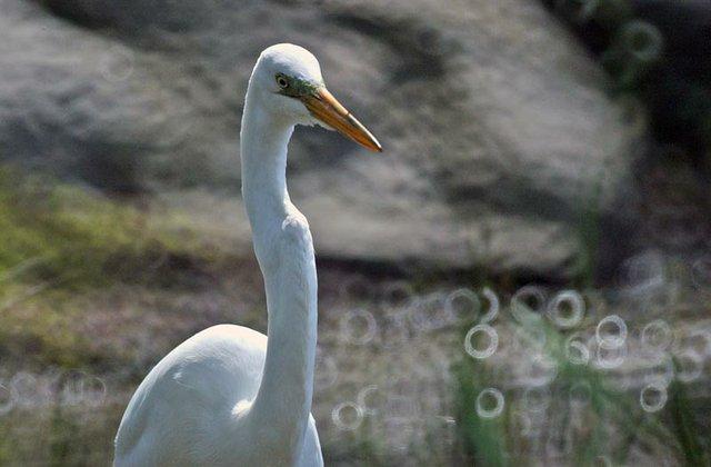 Egret at Turtle Pond