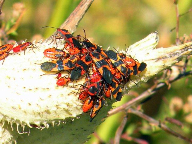 Fall Beetles