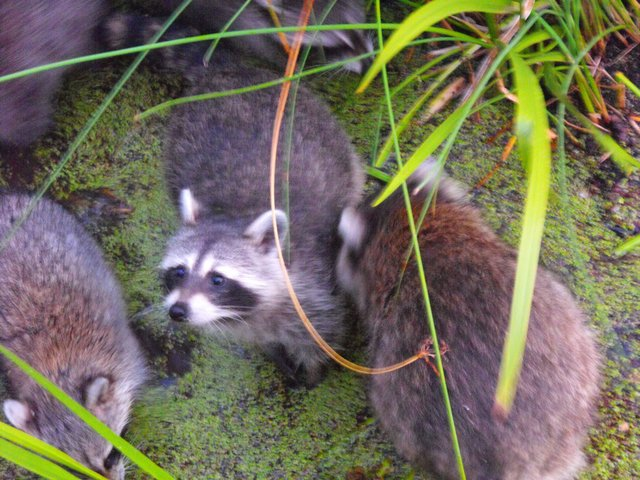 Racoons in the park.