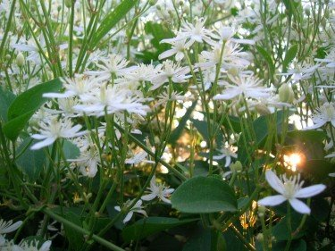 white flowers with sun from behind