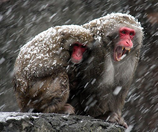 Snow Monkeys in the Snow