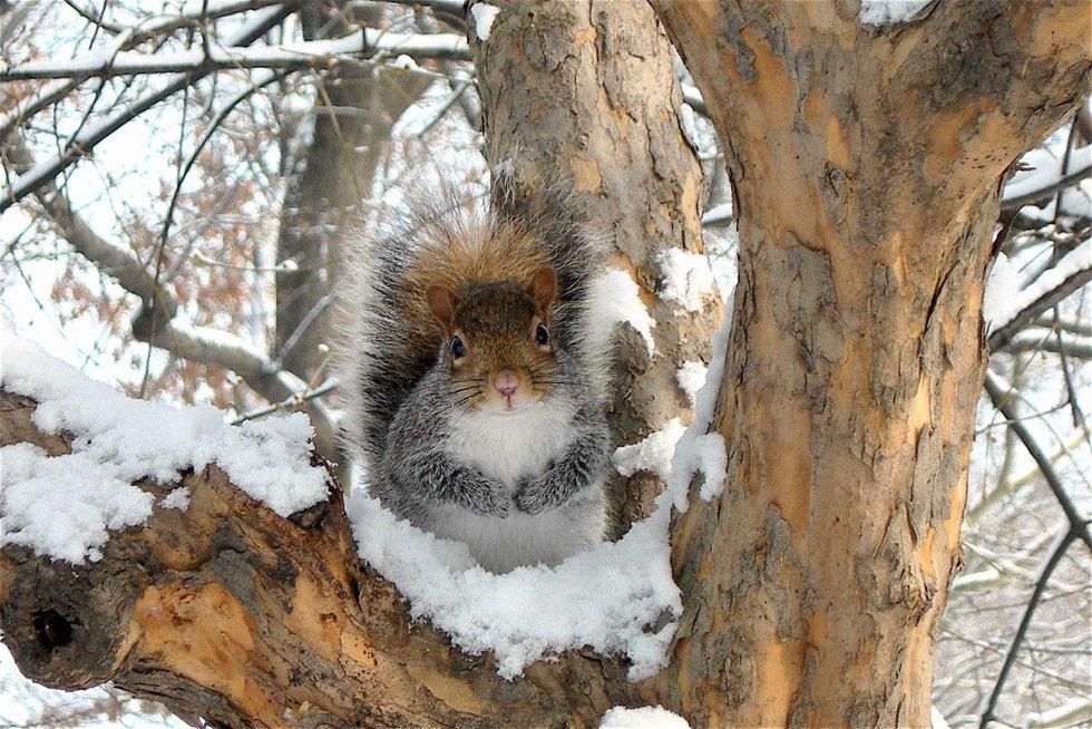 Puffy Squirrel