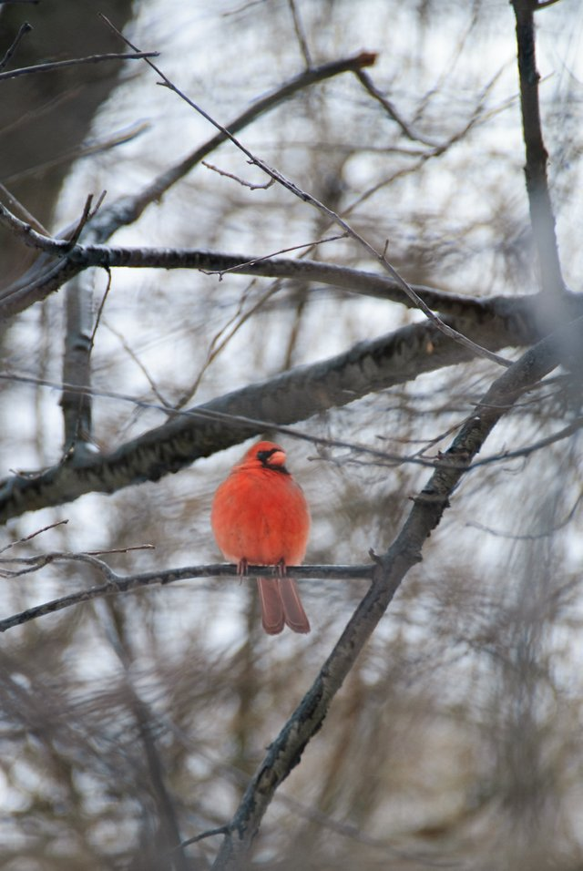 Cardinal Through the Branches