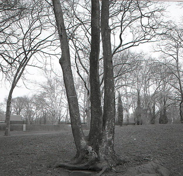 tree study #1