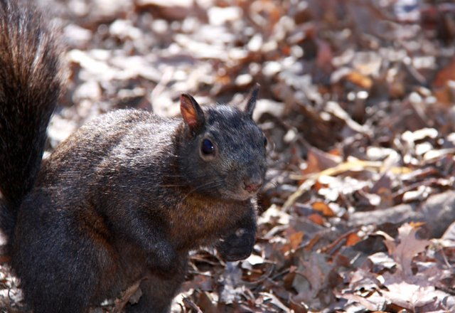 Fierce Black Squirrel!