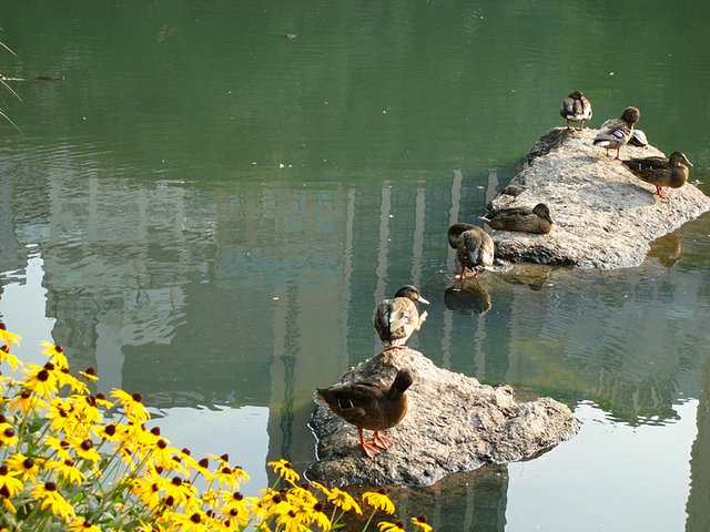 duckies in the pond