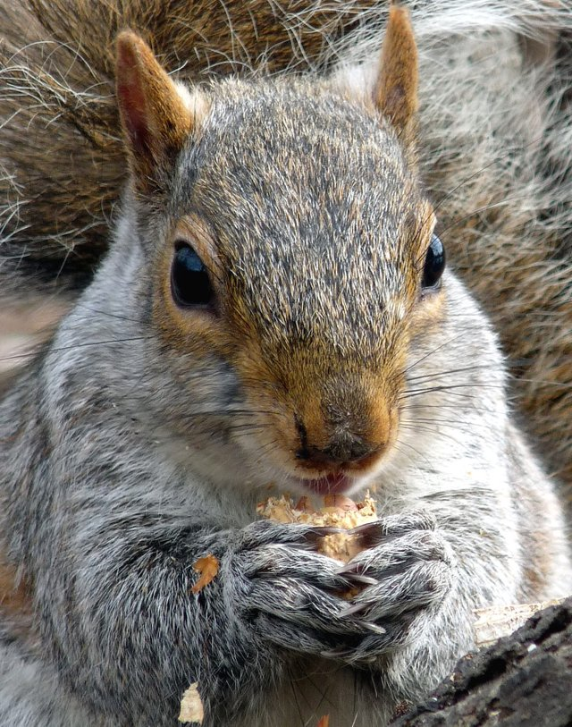 A Squirrel Happily Works for Peanuts in the Ramble