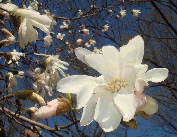 Flowering Tree in Conservatory Garden