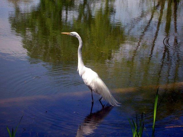 Central Park Egret
