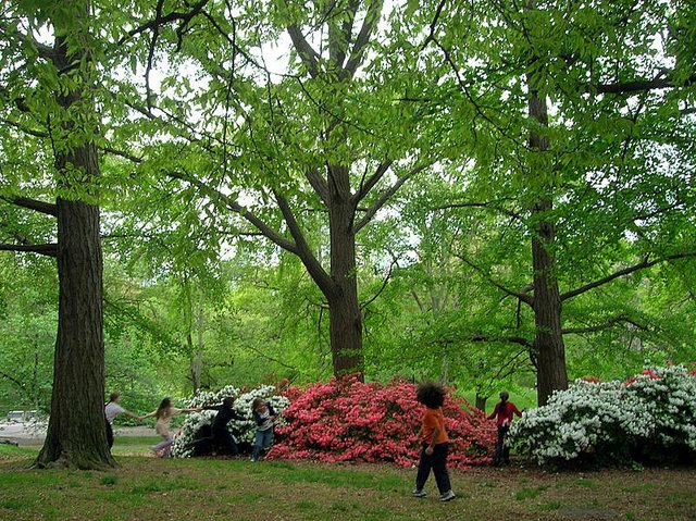 azaleas with kids playing