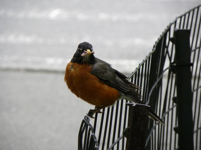 Robin by the Reservoir